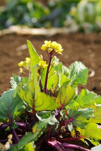 早春の野菜畑イメージの写真素材 [FYI00884373]