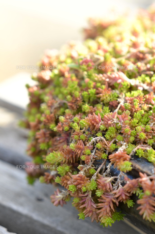 多肉植物の寄せ植えの写真素材 [FYI00884380]