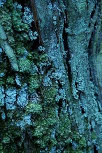 苔むした樹皮の写真素材 [FYI00884394]