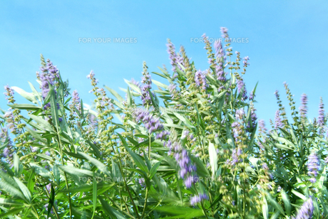 初夏の風に揺れる花の写真素材 [FYI00884399]