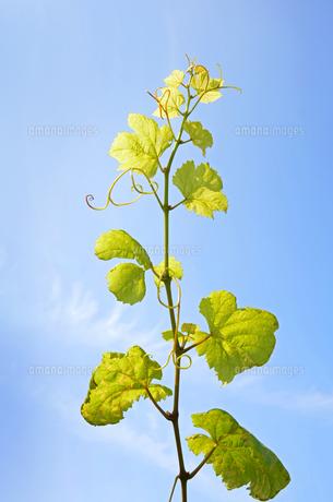 太陽と葡萄の若葉の写真素材 [FYI00884412]