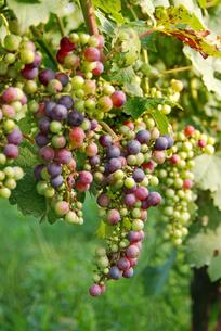 カラフルな葡萄の写真素材 [FYI00884414]