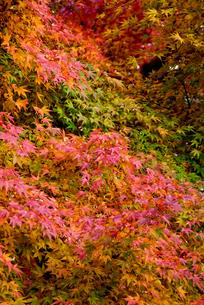 紅葉真っ盛りの写真素材 [FYI00884426]