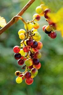 鳥に食べられた葡萄の写真素材 [FYI00884438]