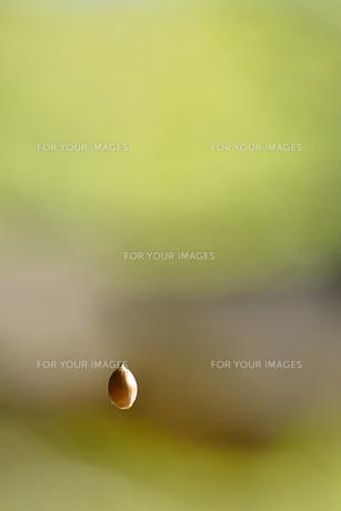 空中のドングリの写真素材 [FYI00884490]