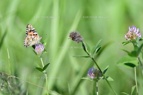 アカツメクサのタテハ蝶の写真素材 [FYI00884624]