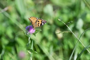アカツメクサのタテハ蝶の写真素材 [FYI00884625]