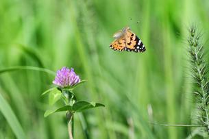 アカツメクサのタテハ蝶の写真素材 [FYI00884626]