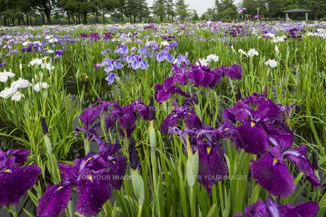 青紫の花菖蒲の写真素材 [FYI00884651]