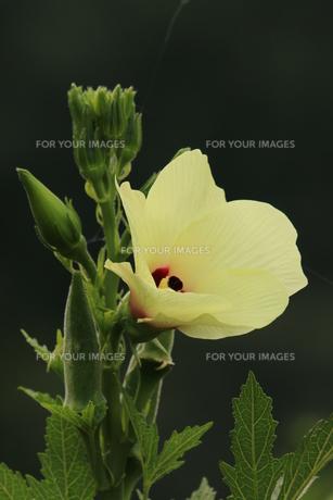 オクラの花の写真素材 [FYI00884999]