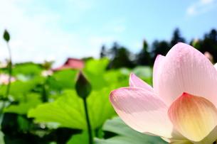 猿賀神社のはすの花の写真素材 [FYI00885217]