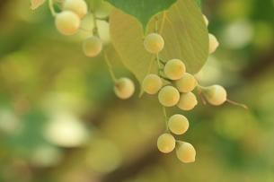 白雲木の実の写真素材 [FYI00885234]