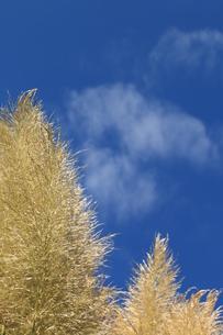 雲にはえるパンパスグラスの写真素材 [FYI00885297]