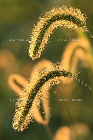 朝日に輝くネコジャラシの写真素材 [FYI00885300]