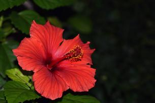マクロで見る赤いハイビスカスの写真素材 [FYI00885355]
