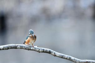 止まり木のカワセミの写真素材 [FYI00885509]