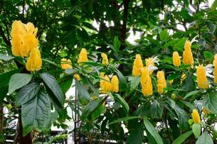 熱帯植物 パキスタキス・ルテア 黄色い苞の写真素材 [FYI00885514]