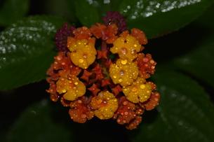 雨上がりのランタナの写真素材 [FYI00885606]