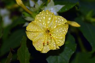 雨上がりのオシロイバナの写真素材 [FYI00885612]