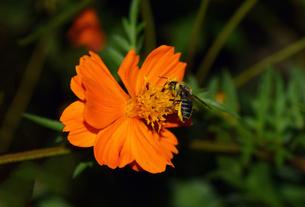 コスモスと日本蜜蜂の写真素材 [FYI00885618]