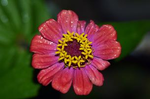 雨上がりの百日草の写真素材 [FYI00885619]