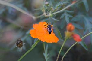 コスモスと日本蜜蜂の写真素材 [FYI00885620]