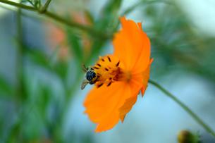 コスモスと日本蜜蜂の写真素材 [FYI00885621]