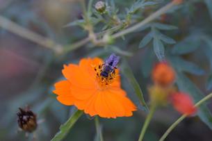 コスモスと日本蜜蜂の写真素材 [FYI00885623]
