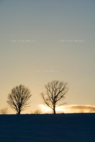 冬の夕暮れの丘に立つ冬木立の写真素材 [FYI00885724]