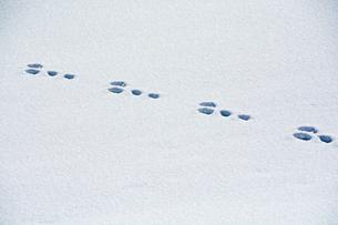雪の上の野生動物の足跡の写真素材 [FYI00885727]