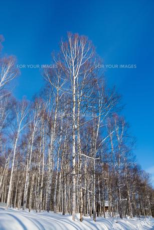青空と冬のシラカバ林の写真素材 [FYI00885735]