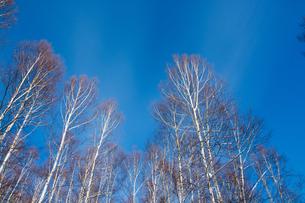 青空と冬のシラカバ林の写真素材 [FYI00885737]