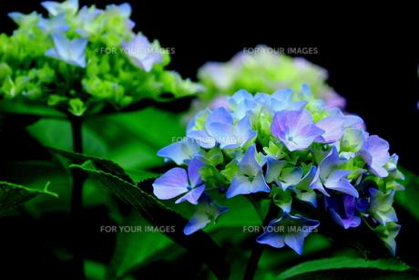 紫陽花の写真素材 [FYI00885957]