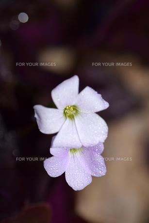 雨上がりの白い花の写真素材 [FYI00885961]
