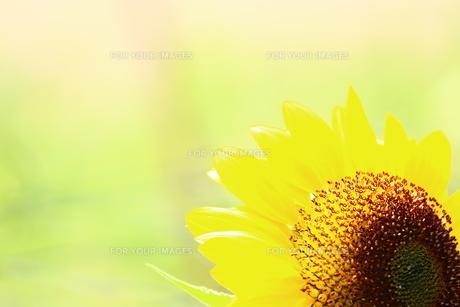 ひまわりの花の写真素材 [FYI00886164]
