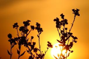 夕焼け空とハルジオンの写真素材 [FYI00886181]