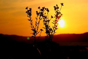 夕焼け空とハルジオンの写真素材 [FYI00886182]
