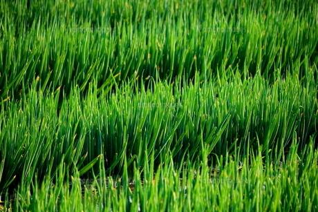 ねぎ畑の写真素材 [FYI00886197]