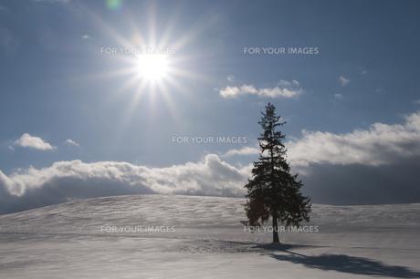 冬の太陽と雪原の松の木の写真素材 [FYI00886309]
