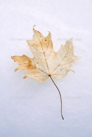 メープルリーフの枯葉冬のカナダの写真素材 [FYI00886372]