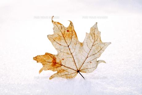 メープルリーフの枯葉冬のカナダの写真素材 [FYI00886387]
