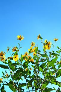 夕映えの黄色い花の写真素材 [FYI00886392]