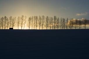 冬の夕暮れの丘とシラカバ並木の写真素材 [FYI00886431]