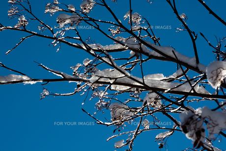 青空と雪をのせた枝の写真素材 [FYI00886442]