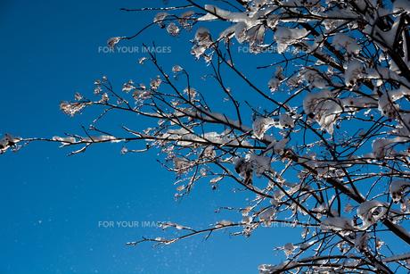 青空と雪をのせた枝の写真素材 [FYI00886443]