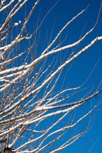 青空と雪をのせた枝の写真素材 [FYI00886444]
