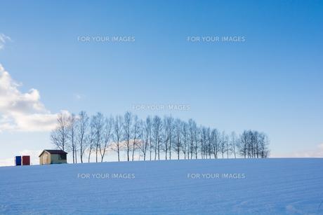 冬の青空とシラカバ並木の写真素材 [FYI00886445]