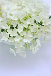 白い紫陽花の花の写真素材 [FYI00886459]