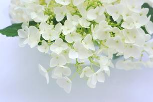 白い紫陽花の花の写真素材 [FYI00886460]