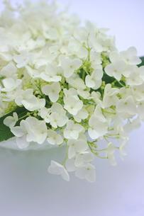 白い紫陽花の花の写真素材 [FYI00886462]